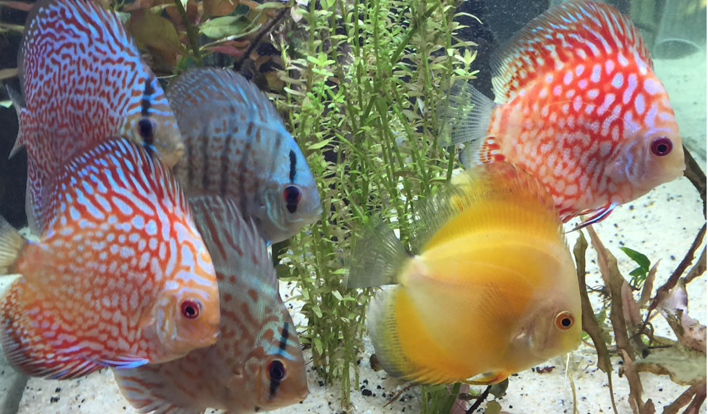 Discus FIsh - One of Sarah's hobbies (Believe it or not!)